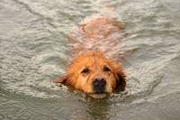 Swimming Golden Retriever_0072