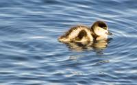 Paradise Duckling_0635