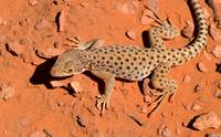Spotted Lizard_0364