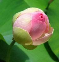 Water Lily - ID 16235-220337-1739