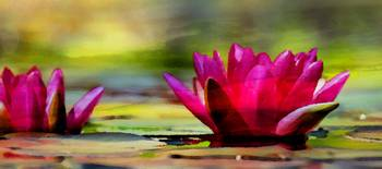 Water Lily - ID 16235-220457-2575