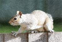 Squirrel - ID 16218-130627-5125