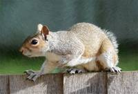 Squirrel - ID 16218-130652-7451