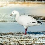 """""""Snow Goose On Frozen Field"""" by robertfrederick"""