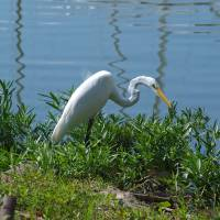 Egret Fishing Art Prints & Posters by Glendine Prints