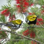 """Black-Throated Green Warbler"" by spadecaller"