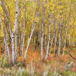 """Colorful_Aspen_Tree_Forest_Floor_Panorama_Views"" by lightningman"