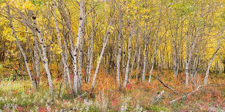 Colorful Aspen Tree Forest For Panorama View