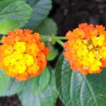 """Double Orange Poms"" by BlueFrogPhotography"