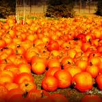 """Field of Pumpkins"" by BlueFrogPhotography"