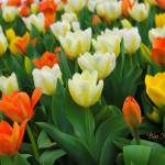 """Field of Tulips"" by BlueFrogPhotography"