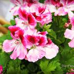 """Dark and Light Pink Flowers"" by BlueFrogPhotography"