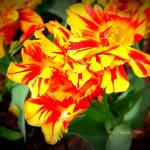 """Firework Flower Orange-Red"" by BlueFrogPhotography"