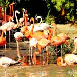 """Flamingos"" by BlueFrogPhotography"