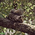"""Sleepy Squirrel"" by BlueFrogPhotography"