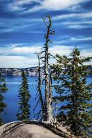 Withered tree on Crater Lake