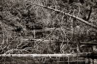 Dead Trees in a small Pond black and white