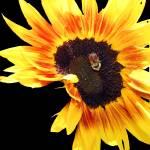"""""""Sunflower10"""" by NikkiLeck"""