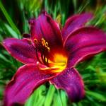 """DSC_0566 Night Beacon Lily signed"" by TaylorMadeArtUS"