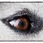 """Husky"" by shaytana22"