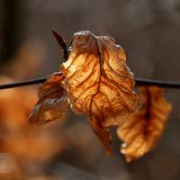 Dry Leaf in Sunshine