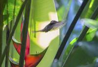 hummingbird_in_paradise