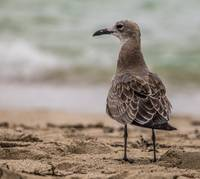 Brown Bird on the Beach