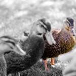 """Ducks"" by lavidabella"