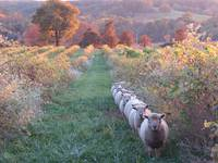 Vineyard Sheep