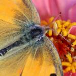 """Orange Sulphur on Zinnia 2016_IMG_1440.1FAA"" by KsWorldArt"