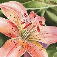 Tiger Lily Close Up