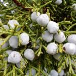 """Water drops on juniper berries in Sedona"" by ErinBast"