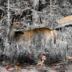 """Adirondack Deer"" by LjTaft"