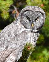 Great Grey Owl_3126