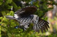 Great Grey Owl_3059