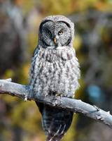 Great Grey Owl_3028