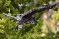 Great Grey Owl_3056