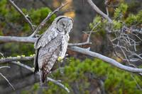Great Grey Owl_2051