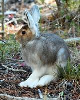 Snow Shoe Hare_3402