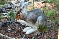 Snow Shoe Hare_3364