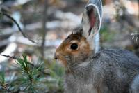 Snow Shoe Hare_3449