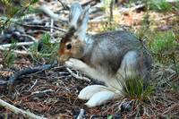 Snow Shoe Hare_3361