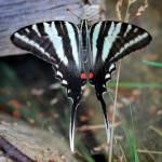"""Zebra Swallowtail Butterfly Resting Square"" by KsWorldArt"