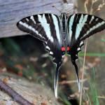 """""""Zebra Swallowtail Butterfly Resting"""" by KsWorldArt"""