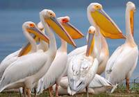 A Flock Of Pelicans