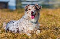 Australian Shepherd Dog Lays On The Grass