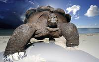 Big Tortoise Strolls The Beach