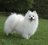 White American Eskimo Dog