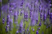 Beautiful Lavender blooming in early summer