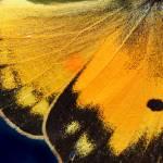"""""""Orange Sulphur Butterfly Wing Macro 2016"""" by KsWorldArt"""